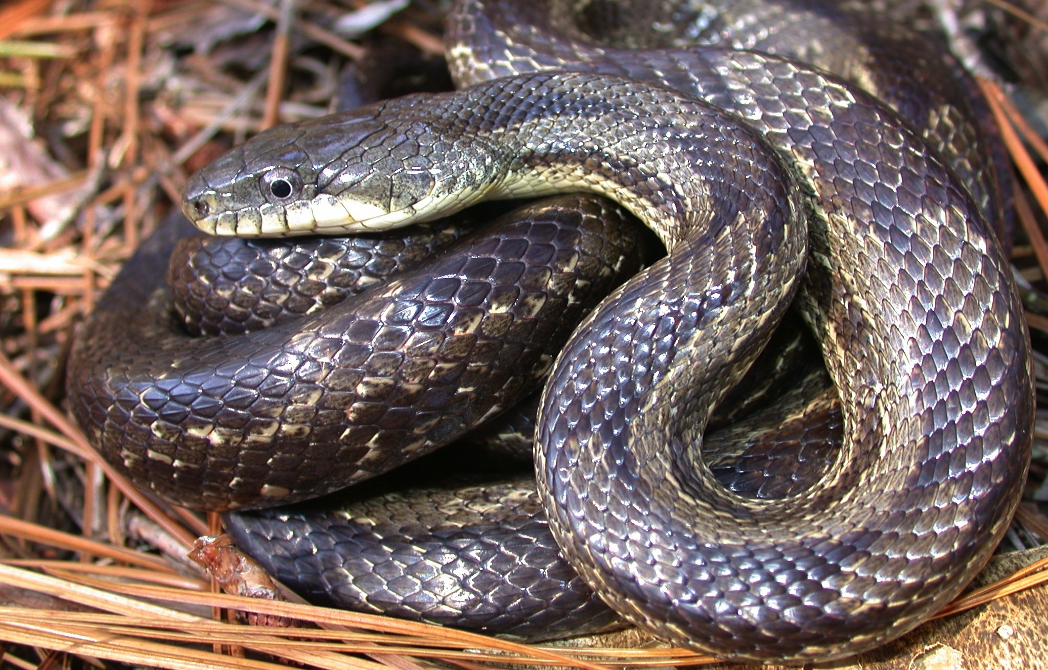 """Integrade phase,"" a cross between a black and yellow rat snake Photo by _____"