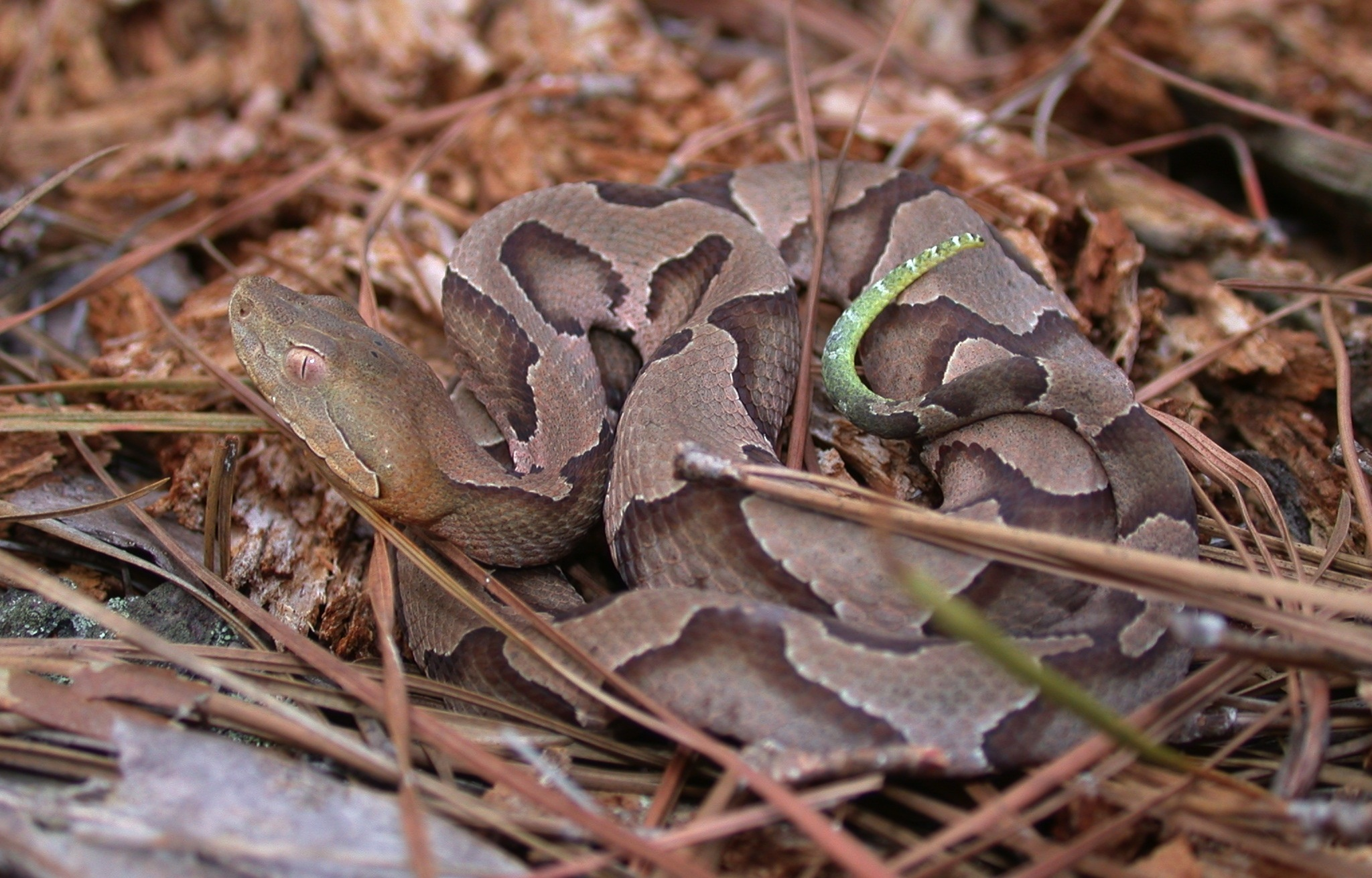 Juvenile copperhead Photo by JD Willson