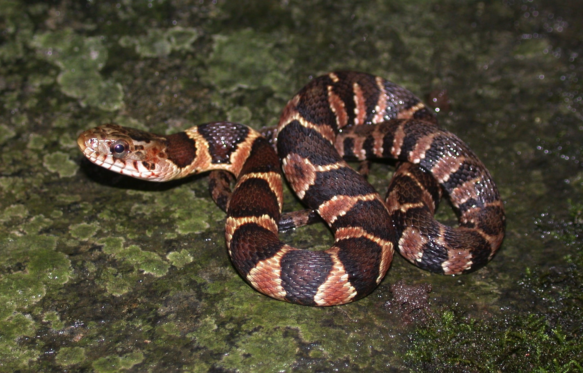 Juvenile northern watersnake with bold markings Photo by JD Willson