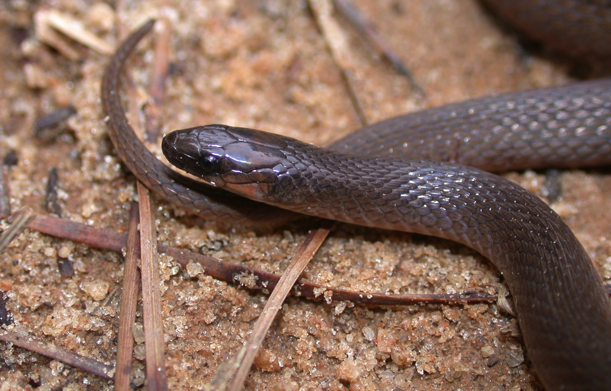 Rough earth snakes have keeled scales Photo by JD Willson