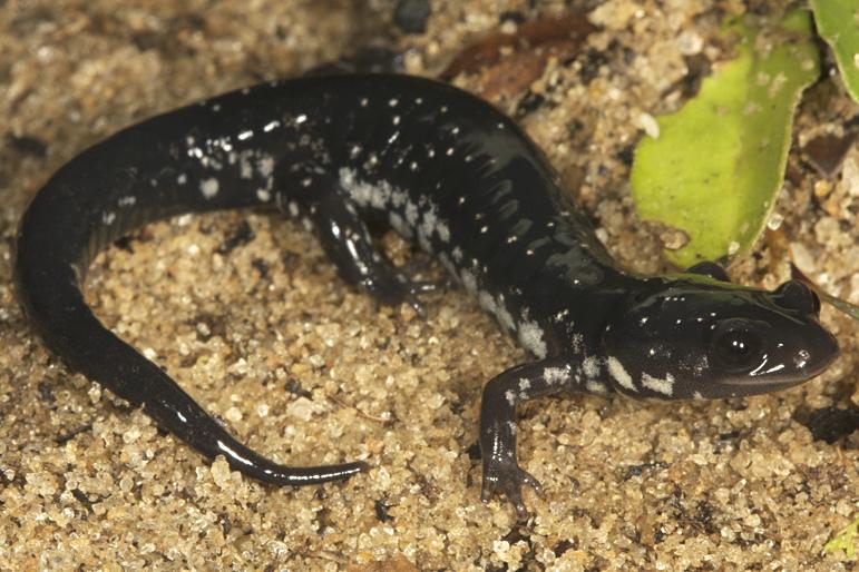Atlantic Coast Slimy Salamander Photo by Todd Pierson