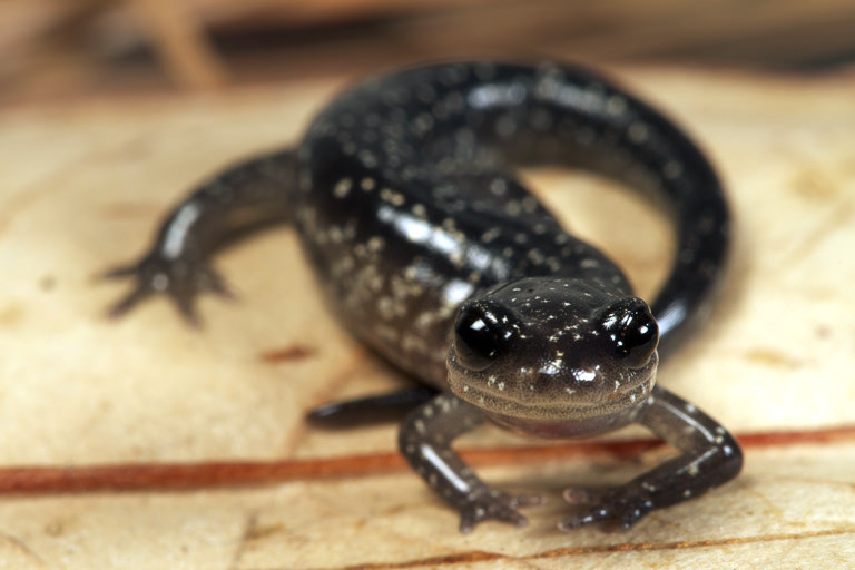 Northern Slimy Salamander Photo by Todd Pierson