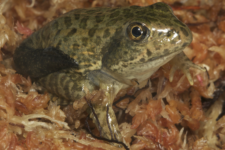 Gopher Frog Metamorph Photo by Todd Pierson